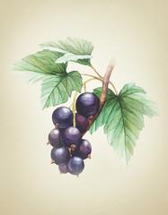 Watercolor black currants illustration