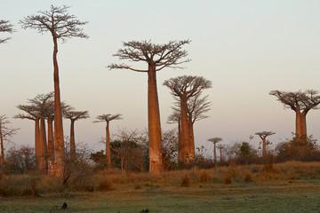 Baobab Alley at sunset - Madagascar
