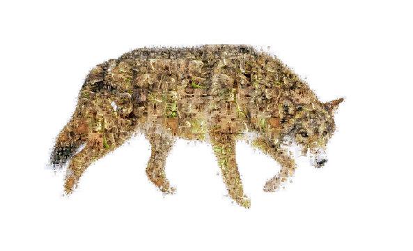 Many photographs of wolf