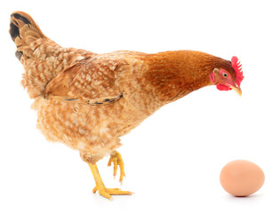Brown hen with egg.