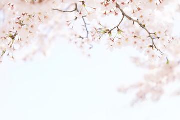 Papiers peints Fleur de cerisier 桜 晴天 青空