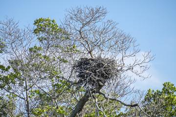 Osprey Nest Up in a Tree