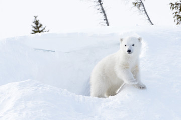 Polar bear cub coming out den, Wapusk national park, Canada.