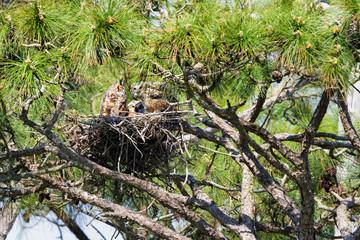 Nesting Owls