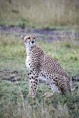 Cheetah in Masai Mara National Park (Africa)