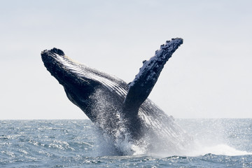 Humpback Whale jumping in Puerto Lopez, Ecuador