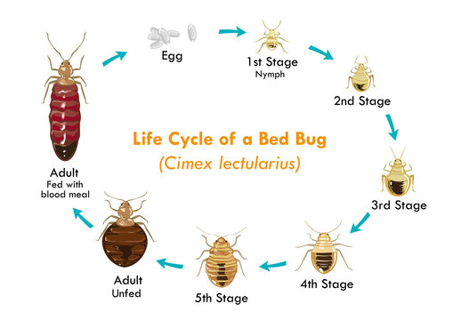 Bed Bug Life Cycle Vector Illustration