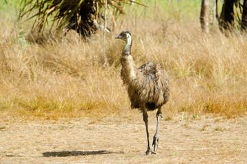Emu walking in grassland, Queensland, Australia