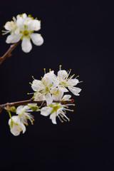 cherry blossom sakura on black background