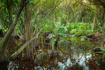 Tropical forest with mangrove trees growing in the water