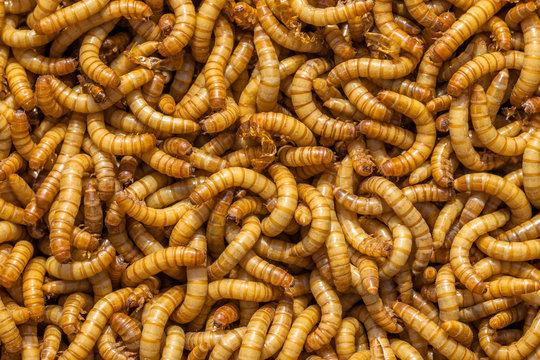 Larvae Background