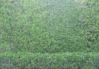 Green Leaves Wall in The Rain