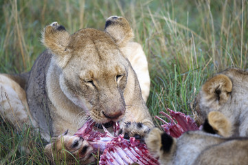 Lioness eating a wildebeest in the Masai Mara Wall mural