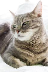 European shorthair cat portrait, closeup and white background