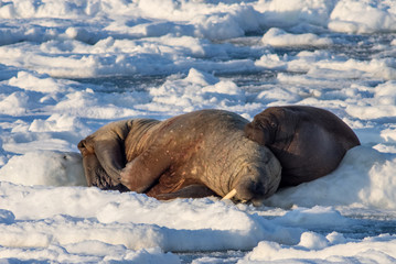 Poster Pole Couple of walruses in the Arctic - Svalbard, Spitabergen