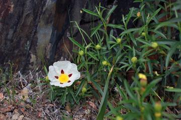 Flor de jara, Sauceda, Hurdes, España