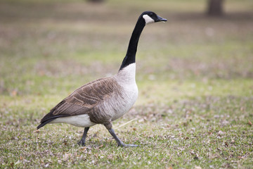 Lone canadian goose on green grass