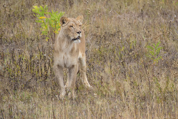 Lion Running on the plains