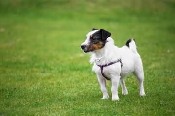 Nice Jack Russel Terrier