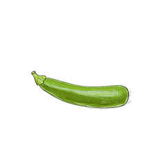 zucchini sketch color drawing isolated over white background