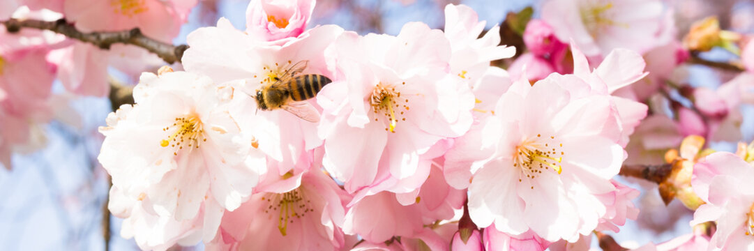 biene in einer kirschblüte als banner