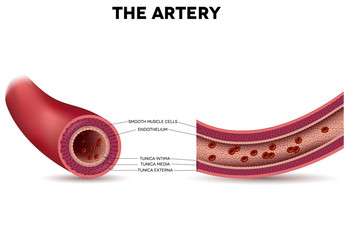 Healthy artery anatomy, artery layers detailed illustration
