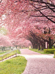 Poster Trees 桜道