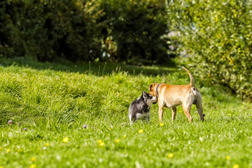 puppy husky meets big dog