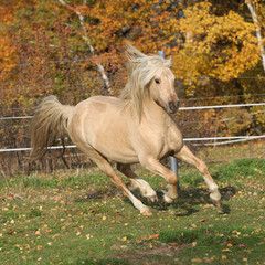 Fototapete - Gorgeous welsh pony of cob type running in autumn