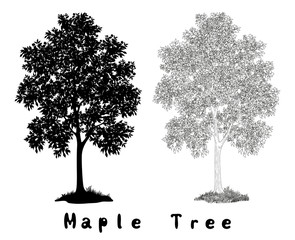 Maple Tree Silhouette, Contours and Inscriptions
