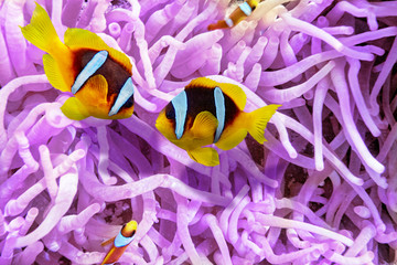 Wall Mural - Couple of cute  clown-fish in the bush of anemone's.