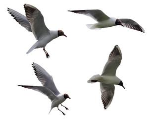 four black-headed gulls isolated on white
