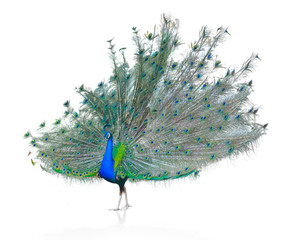 In de dag Pauw Male Indian Peacock displaying tail feathers Isolated On White