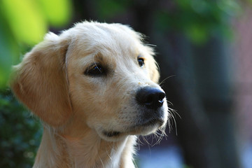 Un Golden Retriever, un cane affetuoso