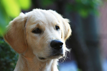 Un Golden Retriever,un cane cucciolo