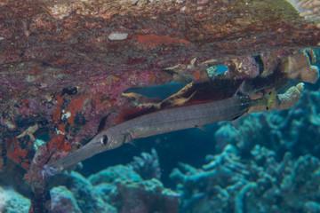 Trumpet Saber fish portrait
