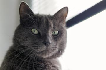 serious gray cat portrait