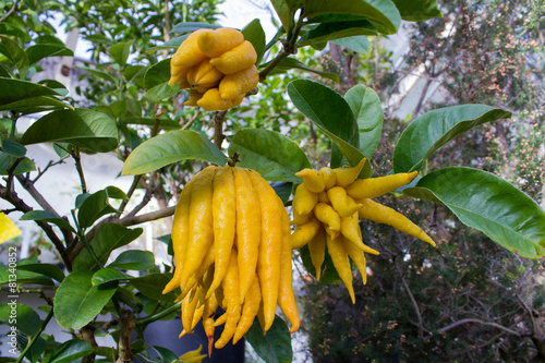buddhas hand citrus medica var sarcodactylus. Black Bedroom Furniture Sets. Home Design Ideas