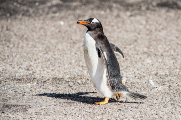 Gentoo penguin runs on the sand