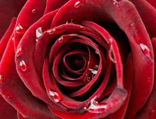 beautiful red rose macro