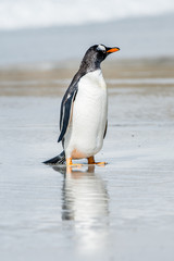 Gentoo penguin on the Falkland Islands