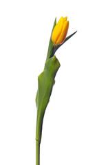 yellow tulip on white background