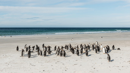 Group of the penguins on the sand on the Falkland Island