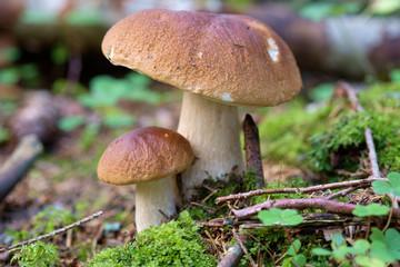 Edible Bolete Mushrooms