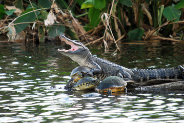 Turtle Collector / Alligator and turtles at the Wakodahatchee Wetlands in Florida