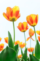 Holland tulip