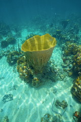 Large vase sponge Ircinia campana in Caribbean sea