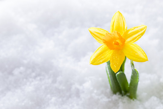Crocus flower growing form snow. Spring start