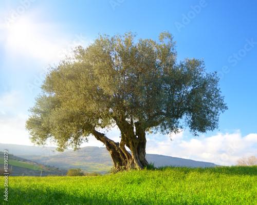 Albero di ulivo immagini e fotografie royalty free su for Albero ulivo vettoriale