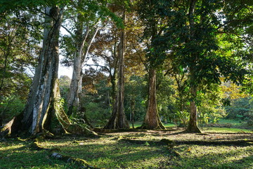 Large tropical fig trees in Panama